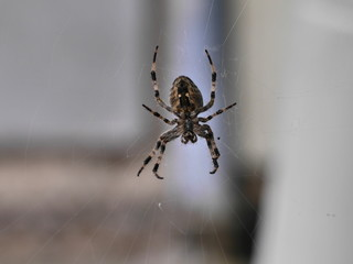 Fototapeta cross spider