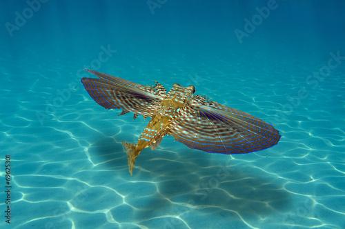 Flying Gurnard fish underwater over sandy seabed Fototapeta