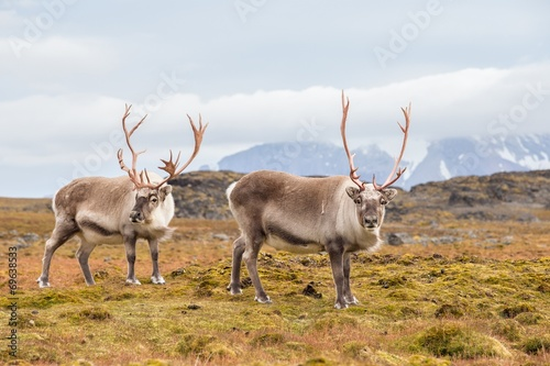Papiers peints Arctique Wild Arctic reindeer - Spitsbergen, Svalbard