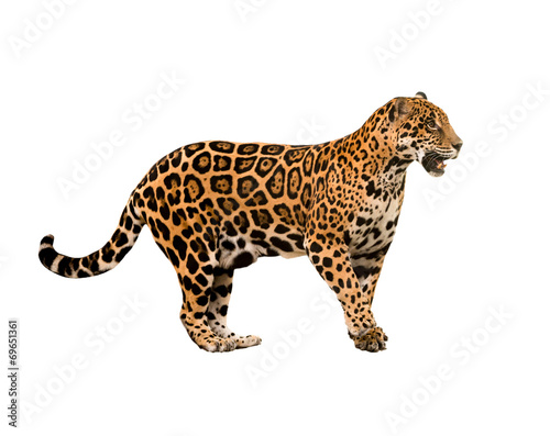 Poster Leopard jaguar ( panthera onca ) isolated