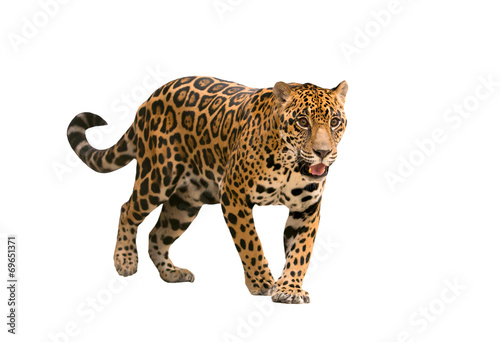 Canvas Prints Leopard jaguar ( panthera onca ) isolated