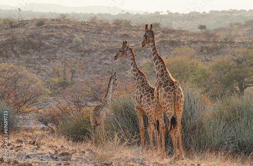 Staande foto Afrika Pair of giraffes walking free