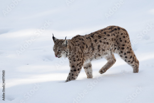 Foto auf Leinwand Luchs Lynx on the snow background while looking at you