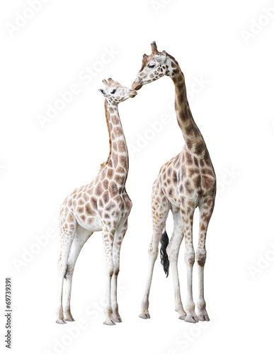 Two standing giraffes Poster