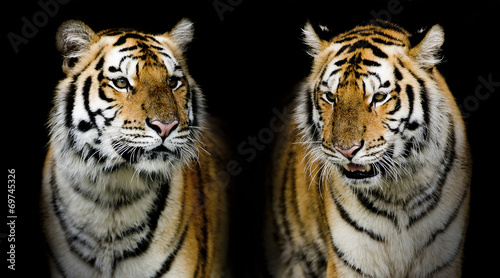 Fotomurales - Twin tigerr. (And you could find more animals in my portfolio.)