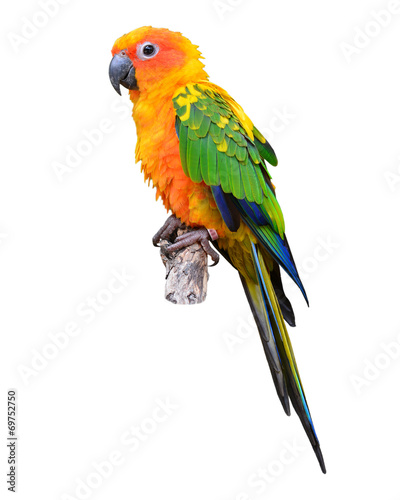 Photo sur Toile Perroquets Sun Conure parrot bird
