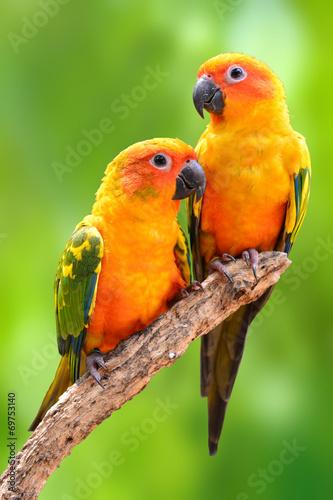 In de dag Papegaai Sun Conure parrot bird