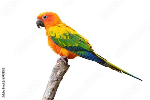 Stickers pour portes Perroquets Sun Conure parrot bird