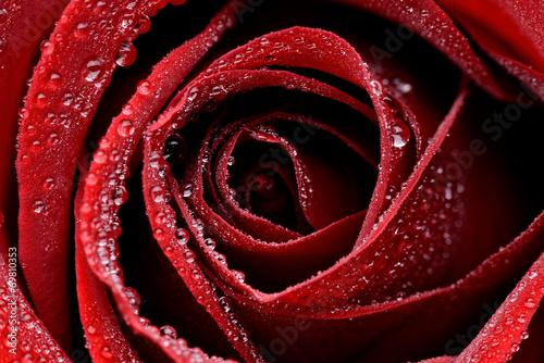 Zbliżenie czerwonej mokrej róży