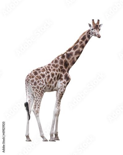 Poster Giraffe Giraffe isolated on white