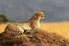 Cheetah On The Masai Mara In A...