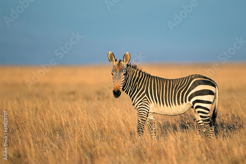 Poster Zebra Cape Mountain Zebra in grassland