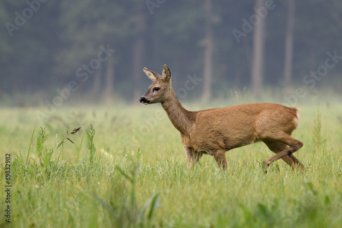 Foto op Canvas Ree Weibliches Reh (Capreolus capreolus) 12