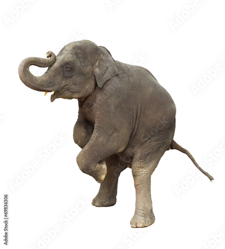 Foto op Aluminium Olifant young asia elephant kid playing lifting front legs to show isola
