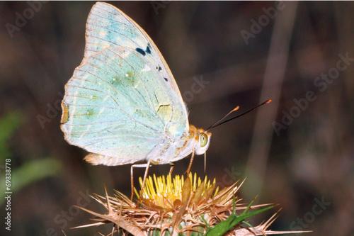 Платно Mariposa cardera argynnis pandora, Sauceda, Hurdes, España