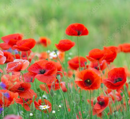 Fotobehang Klaprozen red poppy