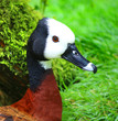 canvas print picture - White Faced Whistling Duck Dendrocygna viduata White-Faced