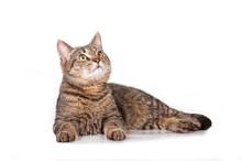 Beautiful Tabby Cat Looking Up
