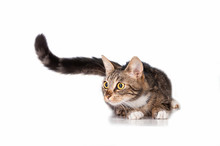 Funny Cat With Long Tail
