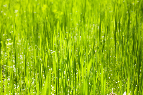 Green grass nature background closeup, natural daylight
