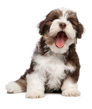 Funny Yawning Chocholate Havanese Puppy Dog