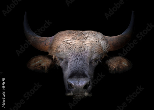 gaur head in the dark