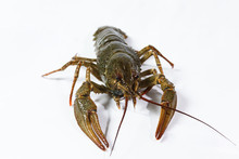 One Live Crayfish