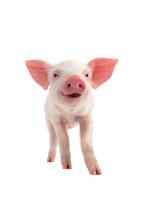 Smile Pig