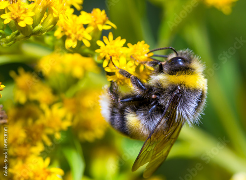 Foto Bumblebee on a yellow flower