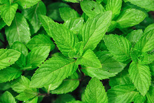 Closeup Picture Of Menthe Leaves