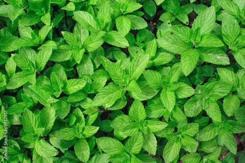 Obraz Menthe plant - fototapety do salonu