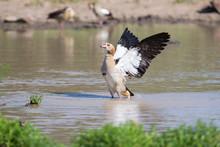 Egyptian Goose Standing In Wat...