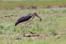 Ugly Marabou Stork Looking For Food To Eat On Short Grass