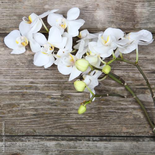 biala-orchidea-phalaenopsis