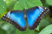 Morpho Peleides Butterfly, The Bufferfly Arc, Montegrotto, Italy