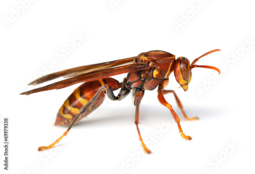 Vászonkép wasp isolated on white background
