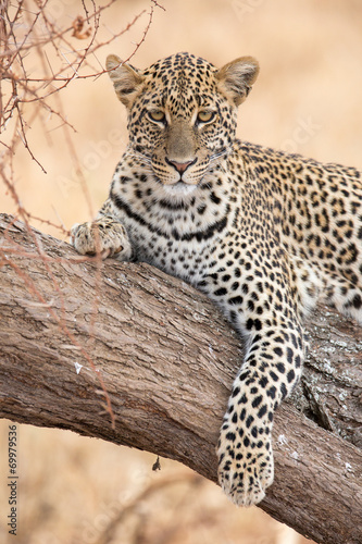 Láminas  Leopard auf Baum