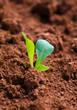 Junge Pflanze auf Acker