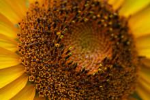 Disk Florets Of Sunflower
