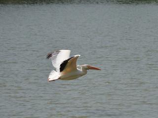 Fototapeta na wymiar pelican heron bird hunting for fish