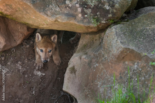 Fotografie, Obraz  Grey Wolf (Canis lupus) Pup Creeps out of Den