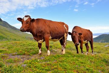 Panel Szklany Podświetlane Wiejski Norwegia, krowy na pastwisku