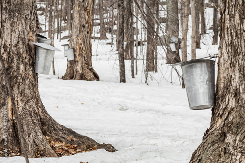 Photo  Forest of Maple Sap buckets on trees