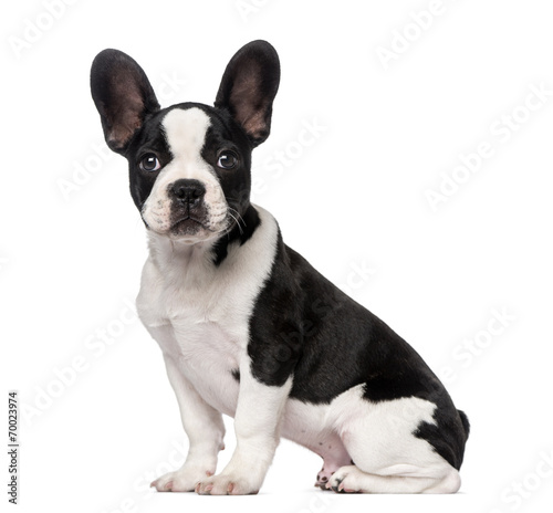 Foto op Plexiglas Franse bulldog French Bulldog puppy (3 months old)