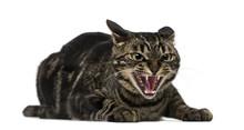 Mixed-breed Cat Hissing