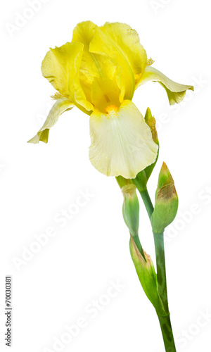 Garden Poster Narcissus yellow iris isolated on white background