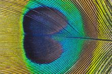 A Peacock Feather Macro Photo