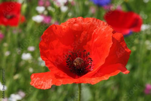 Papiers peints Poppy close up of red poppy