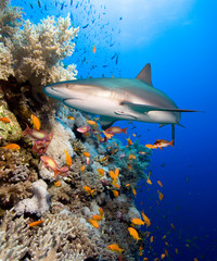 FototapetaCoral reef with shark