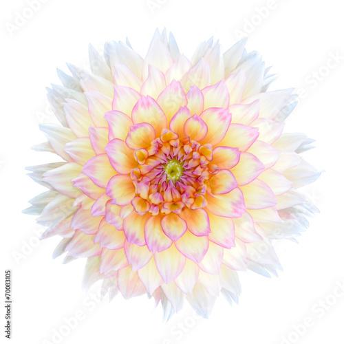 Poster de jardin Dahlia White Chrysanthemum Flower with Purple Center Isolated